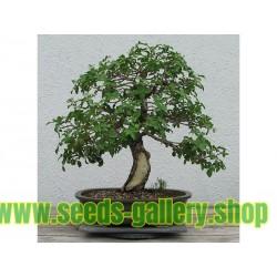Brasilianskt Pepparträd Frön