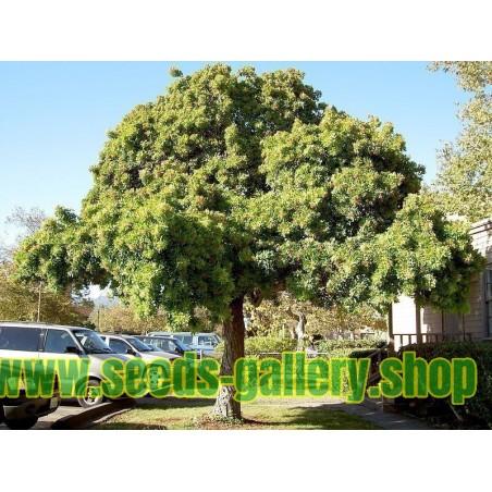 Brasilianische Pfefferbaum Samen