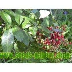 Clary Sage Seeds Medicinal Plant (Salvia sclarea)