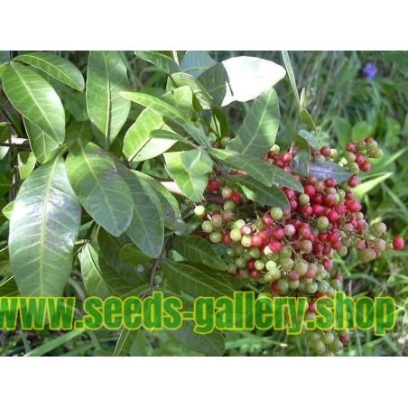 Muskatellersalbei Samen Heilpflanze