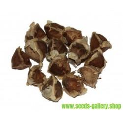 Moringa the Miracle Tree Seeds (Moringa oleifera PKM 1)