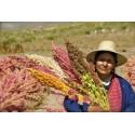 Graines Panax ginseng Plante Médicinale plant