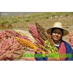 Graines de QUINOA Rouge ou Blanc (Chenopodium quinoa)