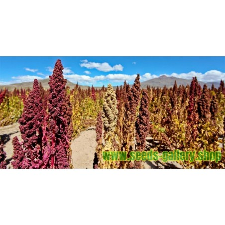 Quinoa Seeds Red or White (Chenopodium quinoa)