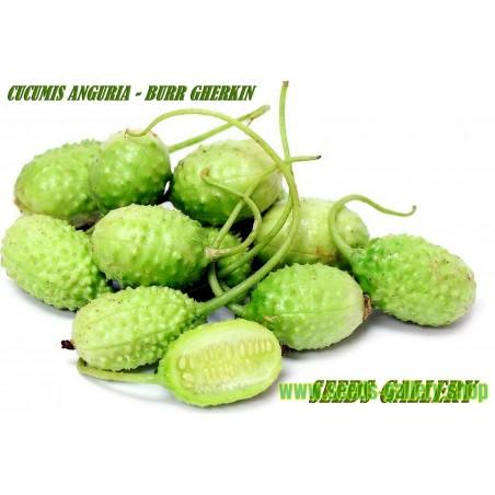Sementes de Pepino Gherkin