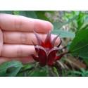 Sementes de Erva-de-são-joão ou Hipericão