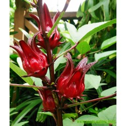 Roselle Seeds - Edible and tasty