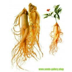 Seeds Panax Ginseng, Asian Ginseng - Medicinal plant
