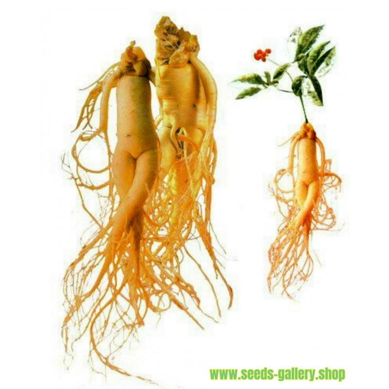 Ginsengsläktet frön medicinalväxt (Panax Ginseng)l plant