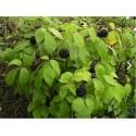 Semi di Ginseng Siberiano - eleuterococco