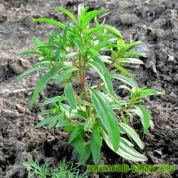 Semillas de Ajedrea de jardín