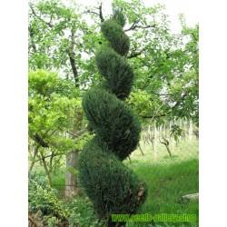 Σπόροι Δέντρο αμερικανική Arborvitae