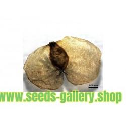 Graines de Bouleau (Betula)