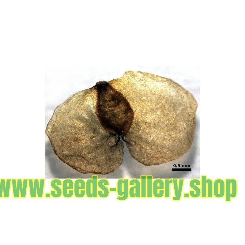 Flasa drvo - Kurrajong Seme (Brachichiton populneus)