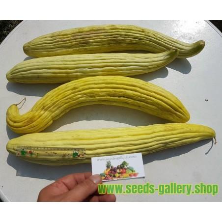Semillas Pepino Armenio Extra Largo