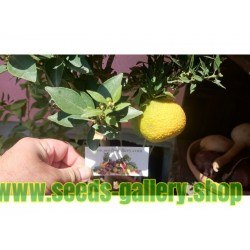CHINOTTO - Myrtle Leaved Orange Tree Seeds