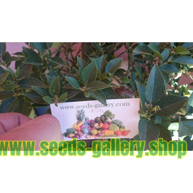 European ash Seeds
