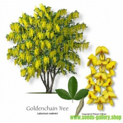 Golden Chain Tree Seeds