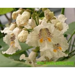 Katalpa Bignoniaceae Seeds