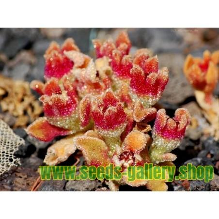 Σπόροι Mesembryanthemum crystallinum