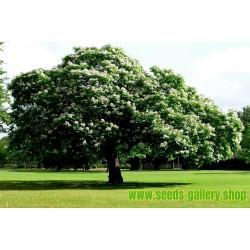 Catalpa Bignoniaceae Σπόροι