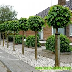 Trompetenbaum Samen