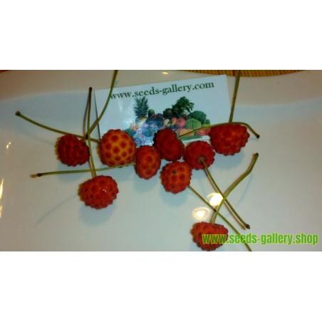 Samen Asiatischer Blüten-Hartriegel leckere Früchte