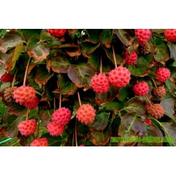 Kousa dogwood Seeds-Edible Fruits