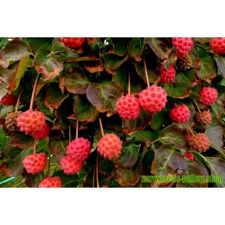 Sementes Cornus kousa ou Corniso do Japão