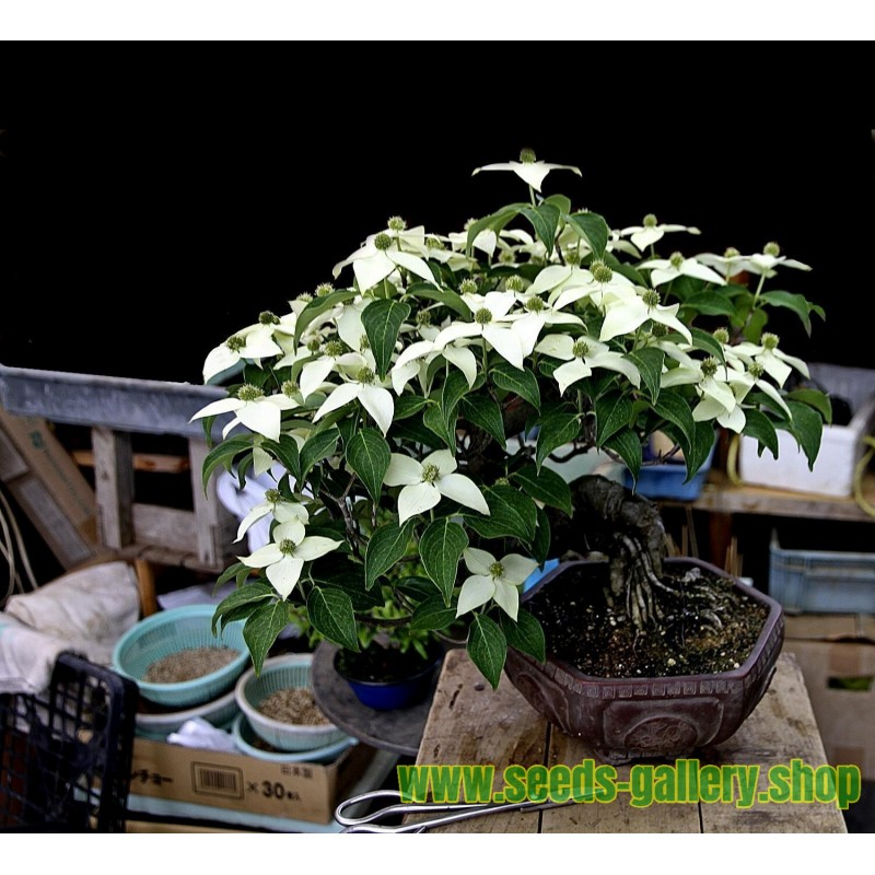 Bittersweet Seeds (Solanum dulcamara)