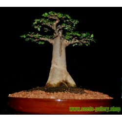 Sementes De Baobá (Baobab)