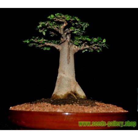 Semi di Madagascar Baobab Tree