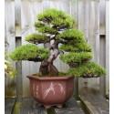 Μπονσάι Σπόροι Pinus mugo