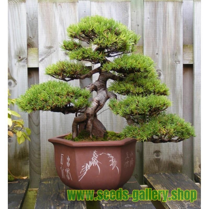 Semillas de Pino negro Bonsai