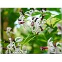 Brown-eyed Susan Seeds medicinal herb