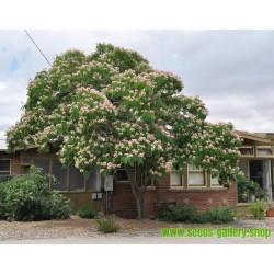 Sementes de Árvore-da-seda Acacia nemu