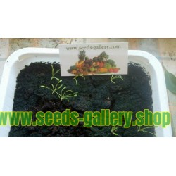 Graines de Maca (Lepidium meyenii)