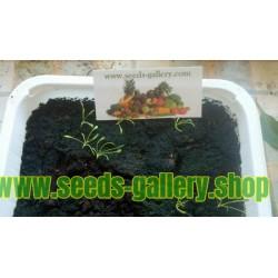 Semillas de Maca (Lepidium meyenii)