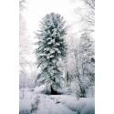 JYOTISHMATI - Drvo inteligencije Seme