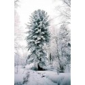 Siberian pine Seeds