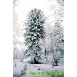 Semillas de Pino piñonero (Pinus sibirica)