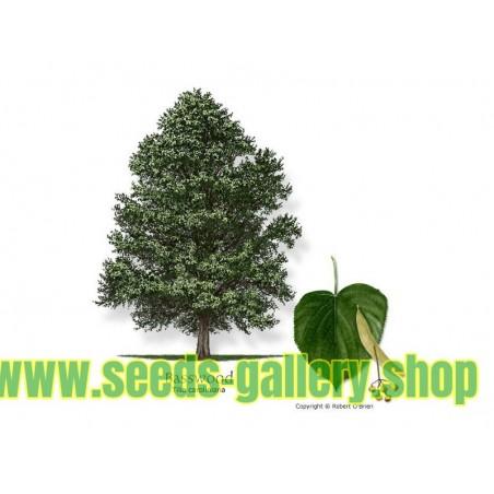 Semi di Tilia (albero)