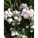 Wintergreen Seeds (Gaultheria miqueliana)