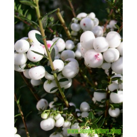 Wintergreen Seeds (Gaultheria miqueliana)
