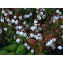 Hagebutten - Wildrose Samen