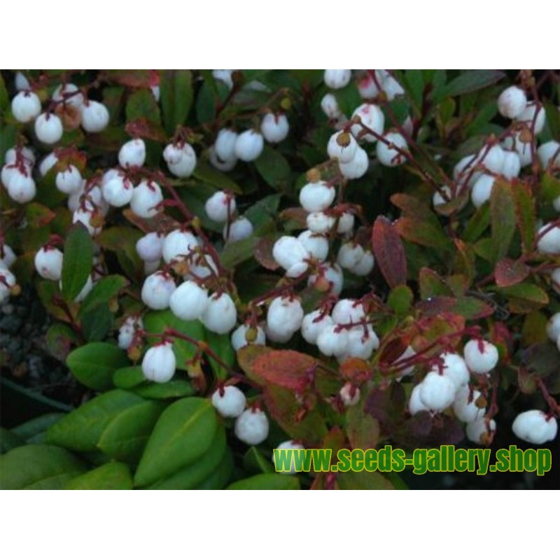 Sementes de Rosa silvestre ou Rosa mosqueta