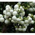 Semillas Tapaculo (fruto) - Escaramujo