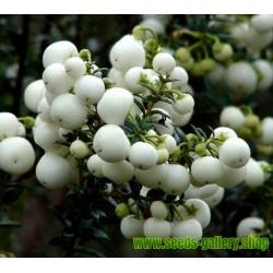 Σπόροι Gaultheria miqueliana