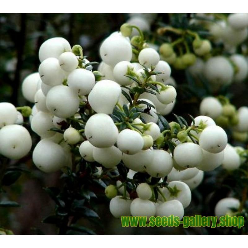 Zimske perle - Pernetija Bela Seme