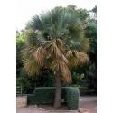 Bermuda Palmetto, Bibby-tree Seeds frost-tolerant -14 °C